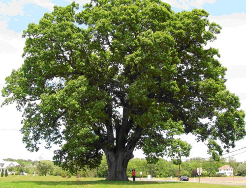 Oak Trees: Tips for Caring for Your Oak Trees