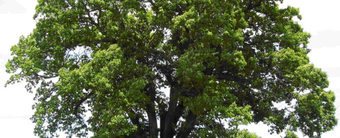 Oak Tree Care Professional Arborist Tree Dr