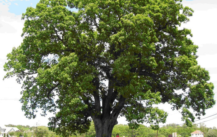 Oak Tree Care ISA Certified Arborist Tree Dr